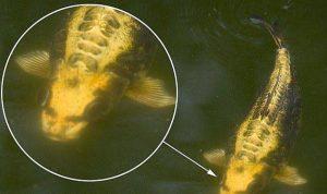 ikan-berwajah-manusia